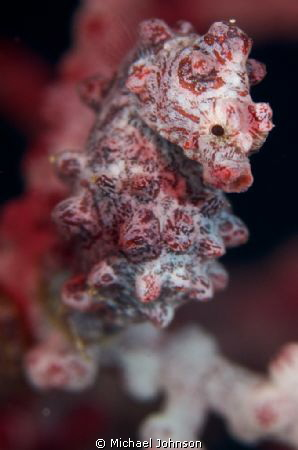 Little Pygmy Sea Horse found by Divemaster Shrek at the A... by Michael Johnson