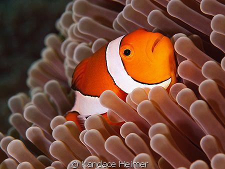 False_Clown Anemonefish shot off Tulamben. by Kandace Heimer