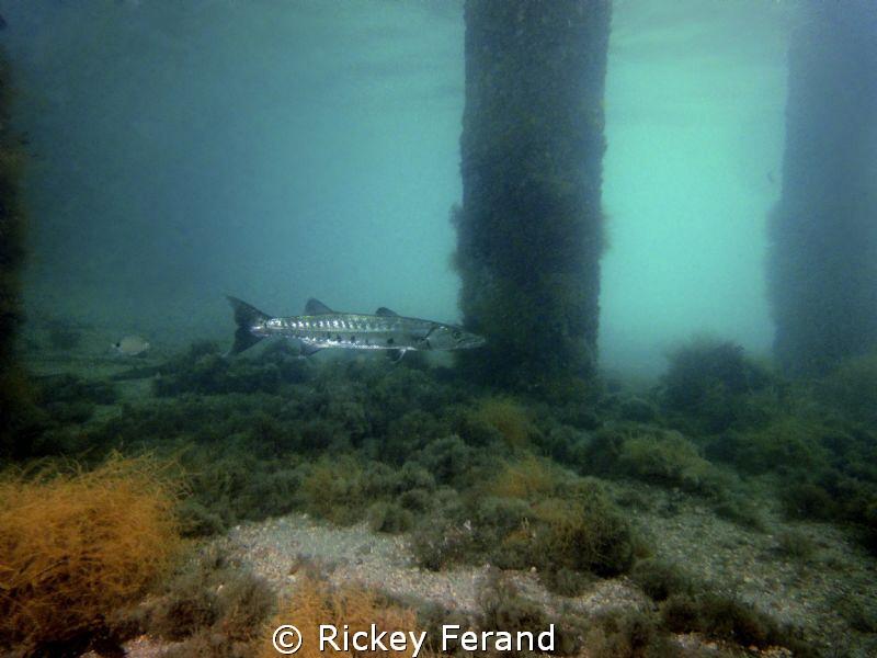 Barracuda under the BHB by Rickey Ferand