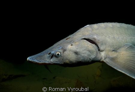 Sturgeon. I know that's about two lives. Search for them ... by Roman Vyroubal