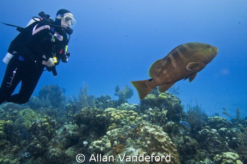 Friendly Grouper at Randy's Gazebo, Little Cayman. by Allan Vandeford