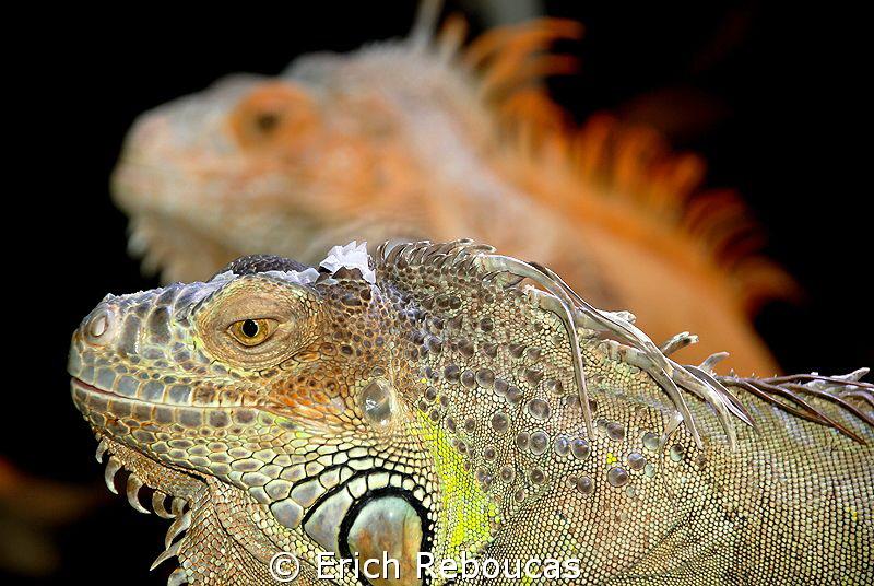 Iguanas by Erich Reboucas
