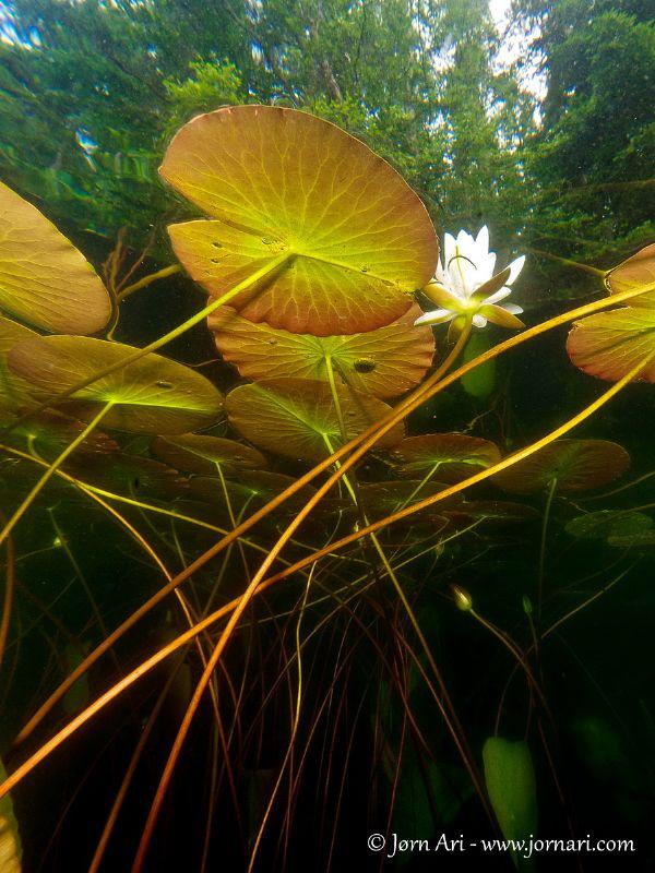 Waterlily (Nuphar) by Jorn Ari