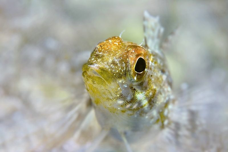 Small Blenny (Tripterygion delaisi) by Roland Bach