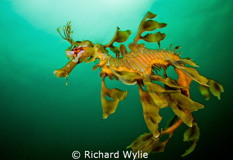 Same leafy seadragon but up close - these guys are amazin... by Richard Wylie