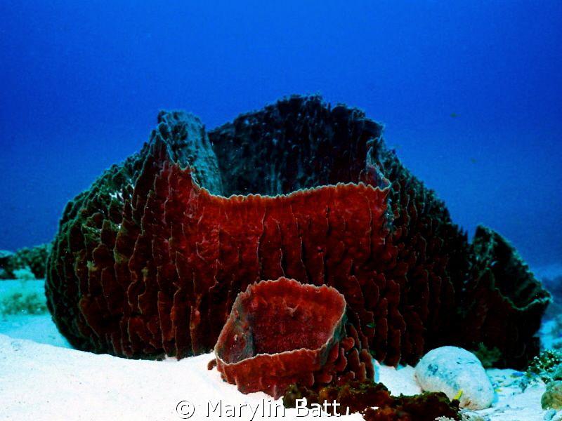 Huge sponge complex at Tubbataha. by Marylin Batt