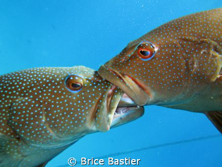 trouts fight!!! this isn't a kiss. they were crazy by Brice Bastier
