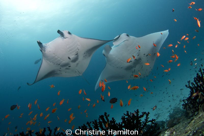 Magnificent Mantas by Christine Hamilton