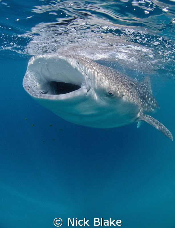 A shot of a whale shark feeding during a recent trip to D... by Nick Blake