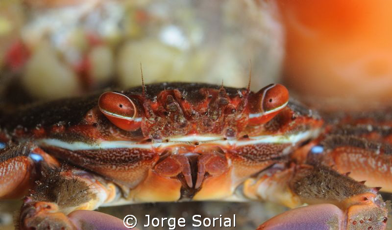 Close up of a spider crab by Jorge Sorial