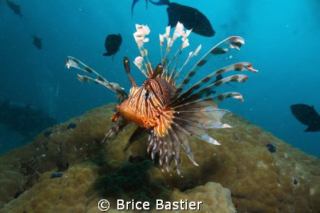 a curious lion fish coming straight at me by Brice Bastier