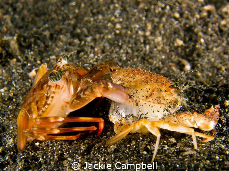 Crab molting its old shell.