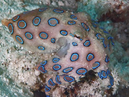 Deadly but oh, so cute! Blue-ring octopus taken in Kapala... by Beverly Speed