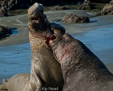 Male northern elephant seals fighting for dominance at th... by Kip Nead