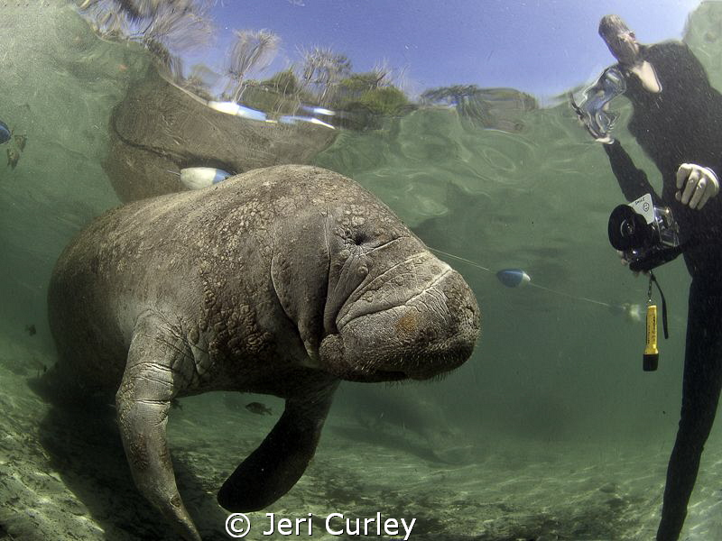 Manatee at Crystal River being photographed by fans. by Jeri Curley