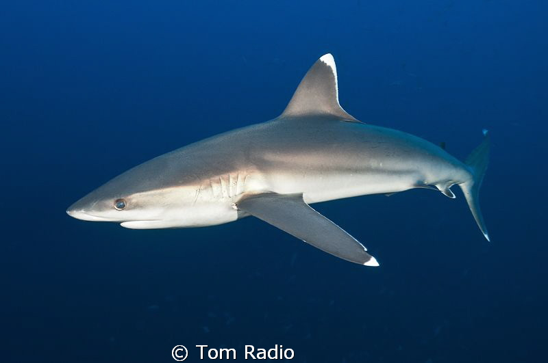 Silver Tip