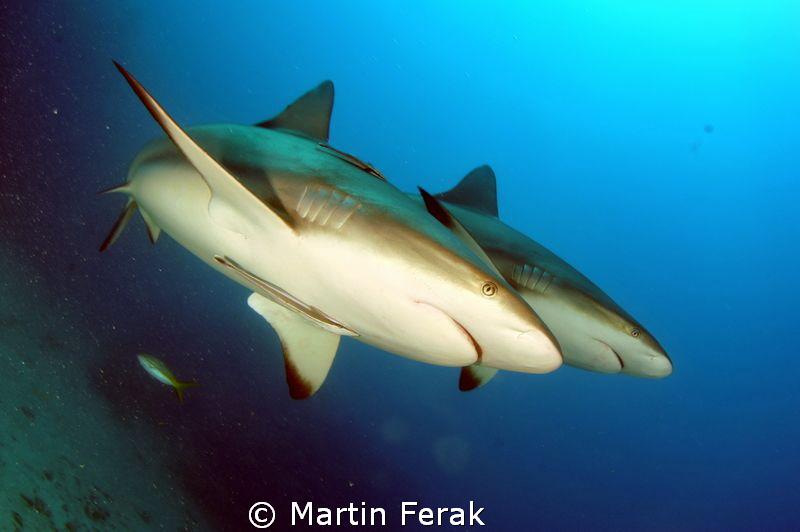 Synchronized sharks in Jardines de la reina by Martin Ferak
