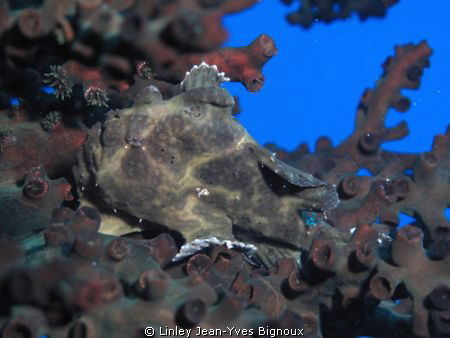 Frogfish in laying on Staghorn Coral,Flic en Flac,Mauriti... by Linley Jean-Yves Bignoux