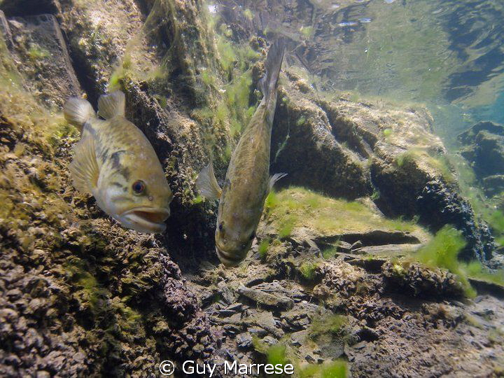 Large mouth bass hanging on there nest.