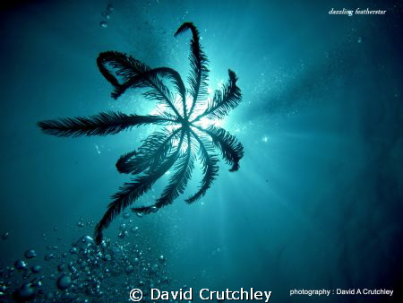 A dazzling featherstar drifting down to its place of rest... by David Crutchley