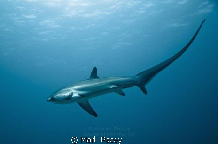 Thresher Shark at Monad Shoal by Mark Pacey