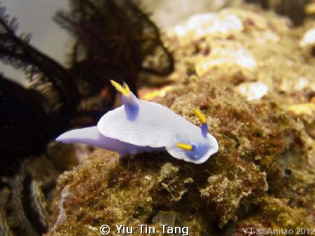 Nudibranch at Anilao, Philippines by my S95 + YS-01 by Yiu Tin Tang