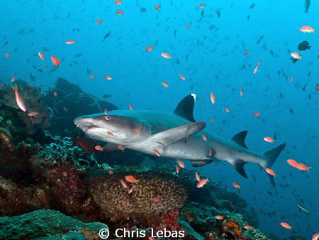 a reef shark in Komodo by Chris Lebas