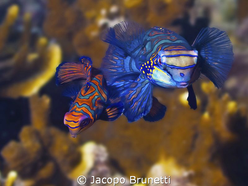 After sex!the couple of Mandarine fish in Malapascua isla... by Jacopo Brunetti