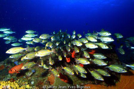 Group/Shoal of Cardinal Fish in Flic En Flac 20 metres ... by Linley Jean-Yves Bignoux