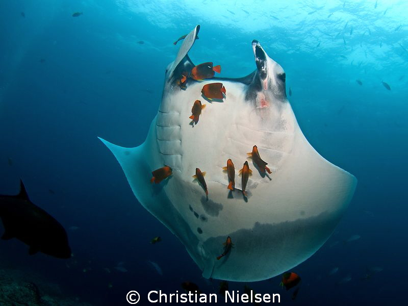 Second image of manta cleaning. Quite different photo tho... by Christian Nielsen