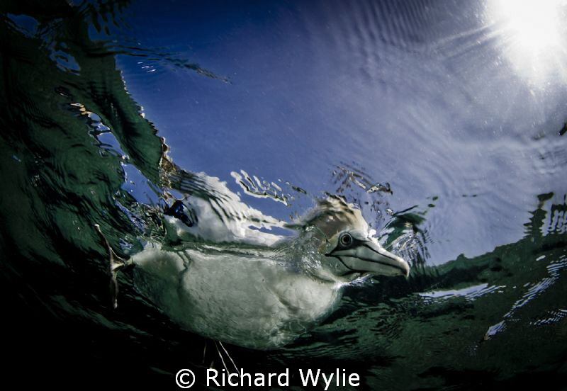 """Australasian Gannet. """"What are you doing down there""""? Tak... by Richard Wylie"""