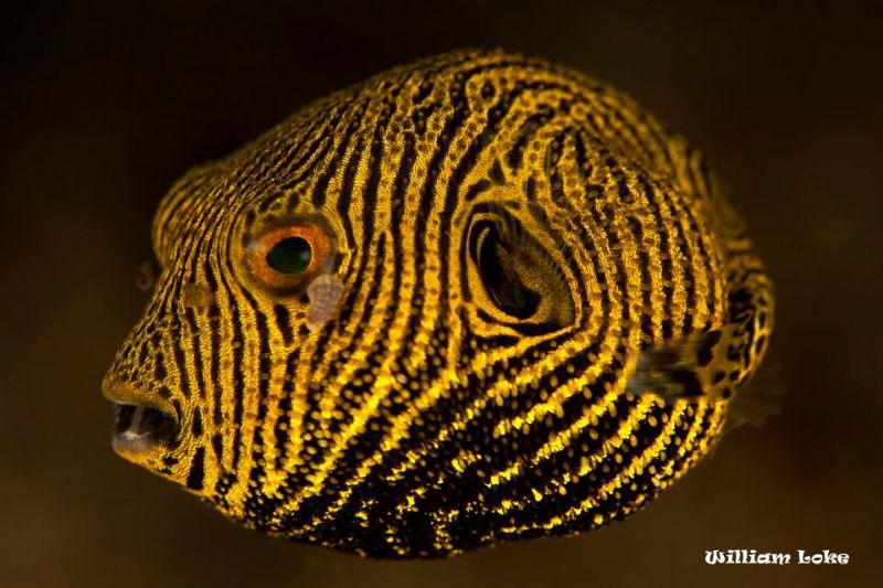 Juvenile Pufferfish by William Loke