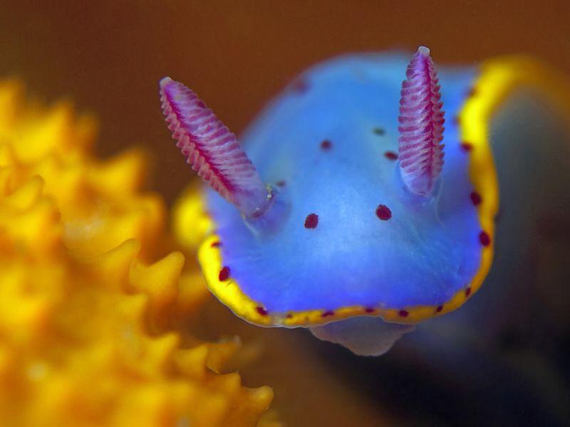 Hypselodoris bennetti, Bare Island by Doug Anderson