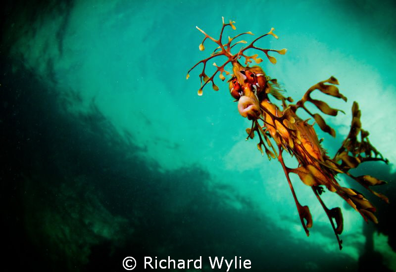 Who are you looking at? Leafy Seadragon taken off Kangaro... by Richard Wylie