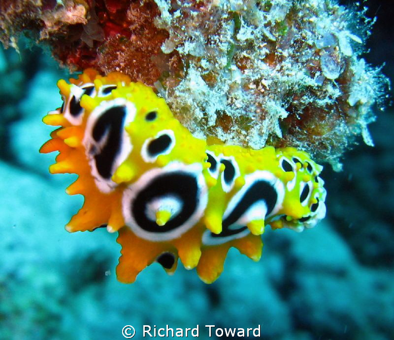 Nice little nudibranchia. Taken with Cannon A570is. by Richard Toward