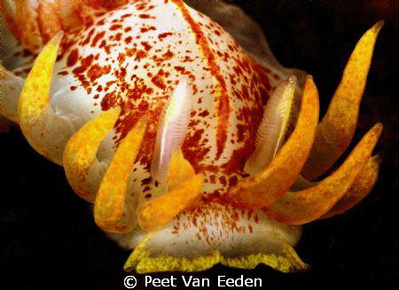 Fiery Nudibranch by Peet Van Eeden