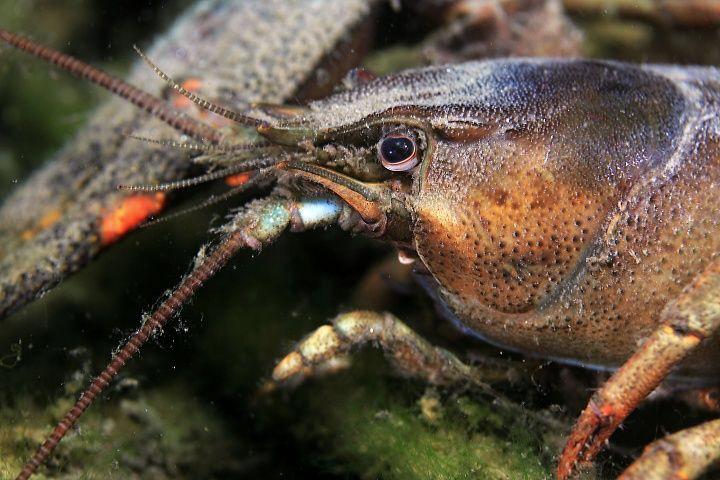 Today's dive-crayfish/macro/canon 60-2,8 usm/ by Veronika Matějková