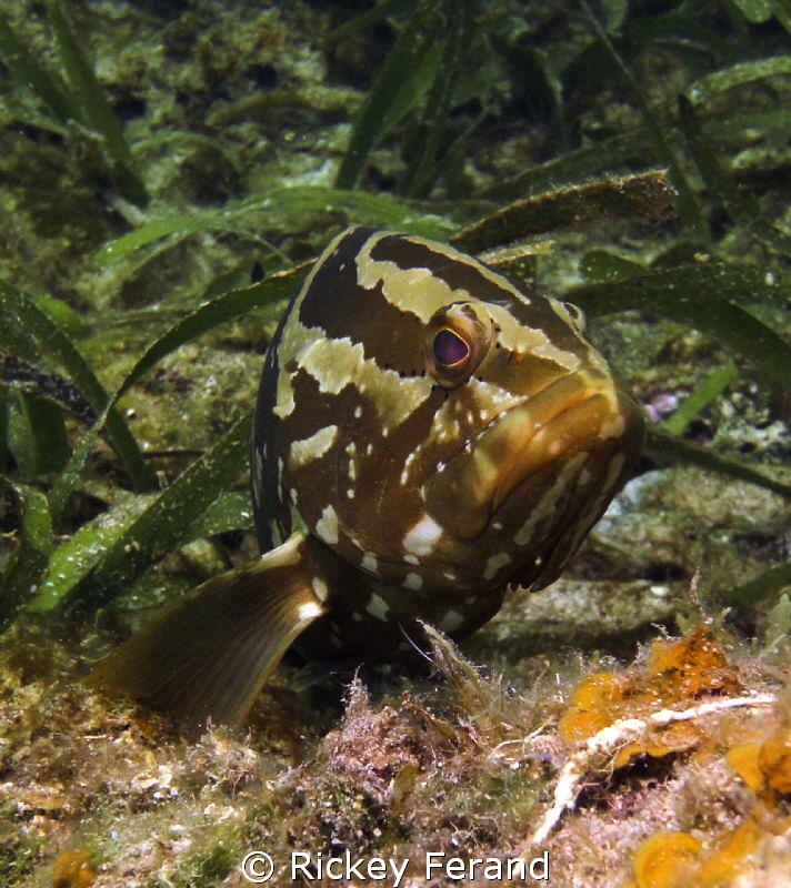 Nassau Grouper lying in wait by Rickey Ferand