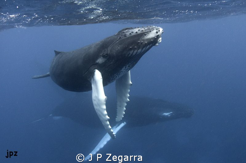 a magical experience with the Humpbacks at the Silver Ban... by J P Zegarra