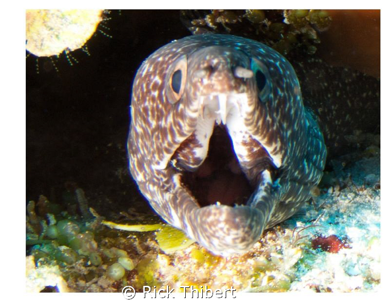 spotted Eel by Rick Thibert