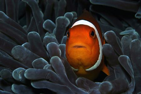 Clown fish, Phillipines 2004. Taken with Canon EOS 10D wi... by Simon Trickett