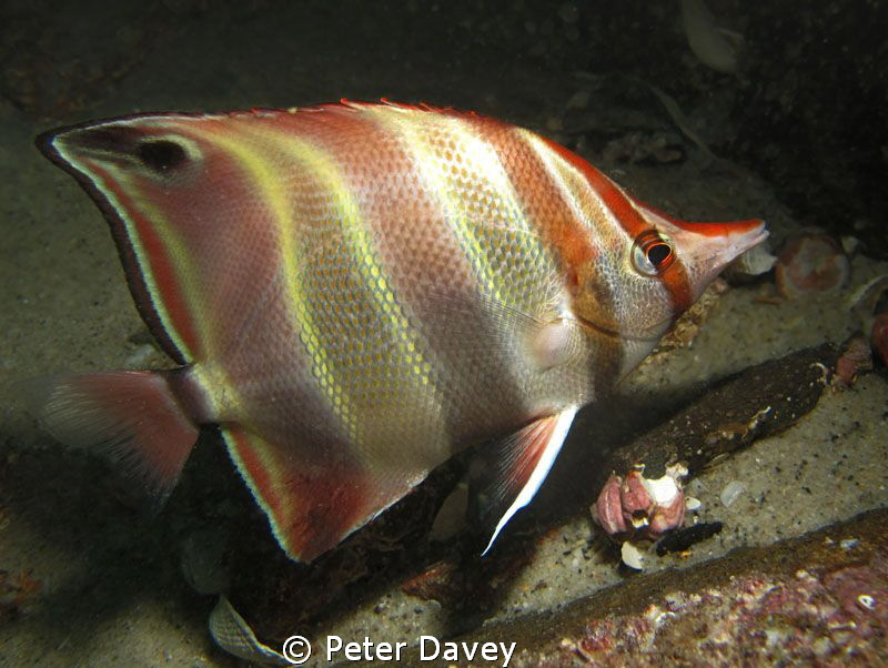 Truncate Coralfish. G10. Canon Housing. YS-01 Flash. by Peter Davey