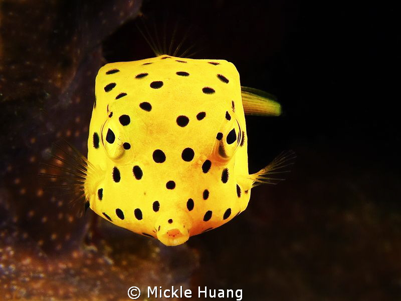 Yellow boxfish - juvenile