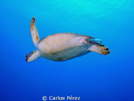 """Into the Blue"" This Green Turtle Was incredible Photogen... by Carlos Pérez"