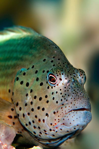 Hawkfish by Paul Colley 