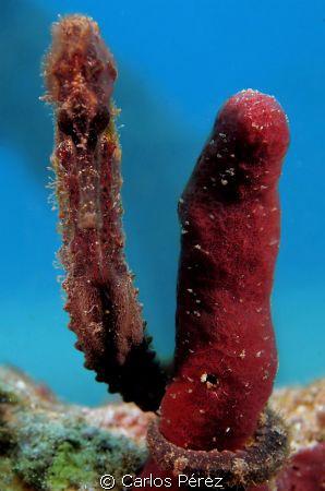 Brown Seahorse(Hipocampus Reidi) by Carlos Pérez