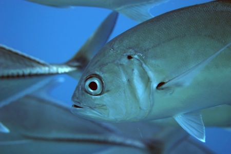 Close up of Big Eye Jack in a shoal in mid water, Philipi... by Simon Trickett