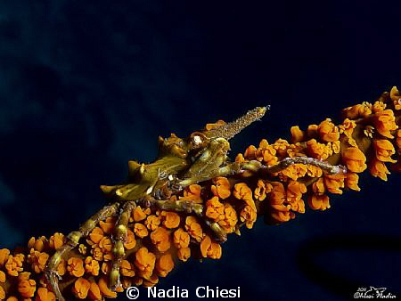 Little monster!  Xeno crab, it was really difficult to p... by Nadia Chiesi