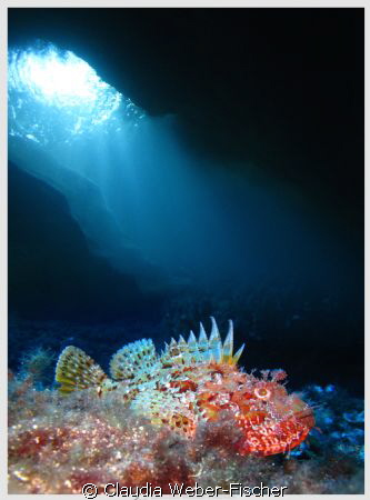 Scorpion fish + ambient light, Comino caves