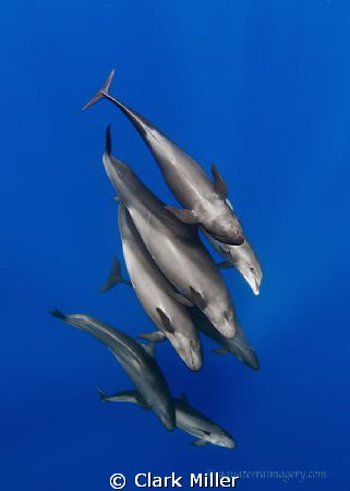False Killer Whales and Disguised Dolphin by Clark Miller